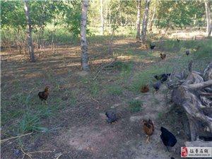 纯林地散养的小笨鸡