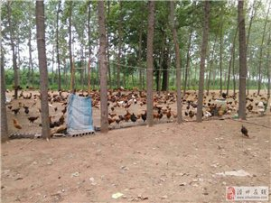 1.5斤散養柴雞出售