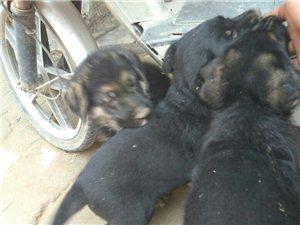 宠物狗出售
