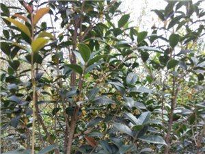 飘香桂花树园