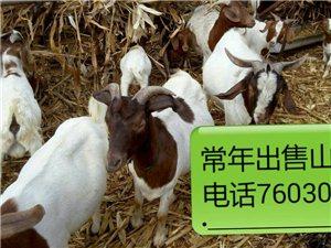 常年出售山羊