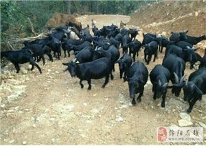梓州黑山羊羊肉专卖