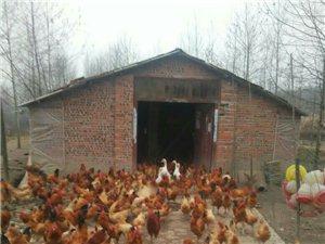 出售自家散养土鸡