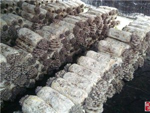 大量出售平菇。