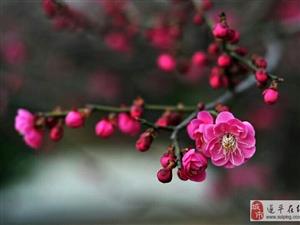 孙冠宏摄影作品展之梅花闹春