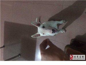 本人于25号中午11点左右在金兰广场附近,丢失自家养的狗狗。
