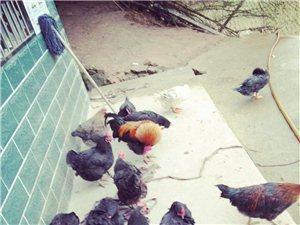 出售散養土雞、番鴨/土雞蛋、土鴨蛋/兔子