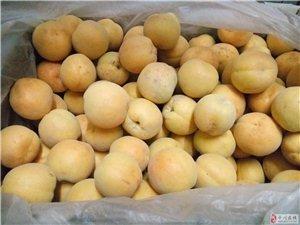里黃杏出售,香甜可口,綠色食品
