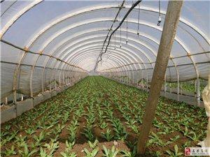 蔬菜、花卉种植大棚出租