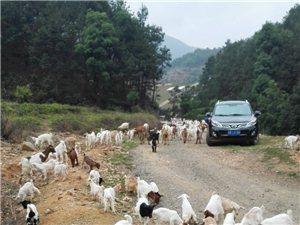 肉山羊,種山羊,小羊出售
