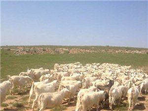 低價出售整群山養羊