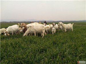 本人羊群處理