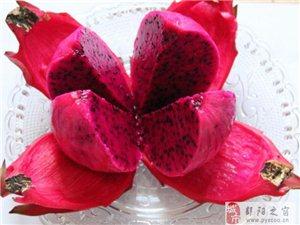 鄱陽本地種植現場釆摘紅肉火龍果