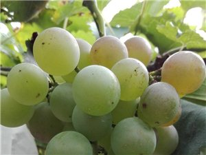 出售多品种新鲜葡萄