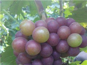 葡萄种植采摘园
