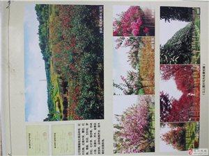 收售各种绿化树木,承接各种绿化工程!