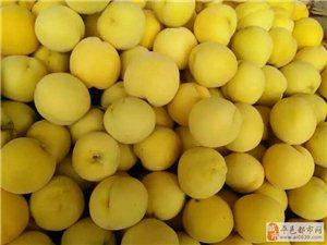 黄桃新品种、金皇后黄桃苗