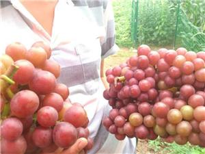 出售巨峰葡萄