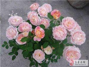 出售歐洲日本月季玫瑰苗