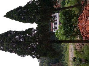万年青树木出售