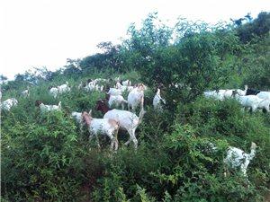 常年出售源生态养殖羊