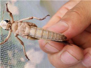銷售蝗蟲,活體,冷凍