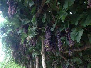 各种本地葡萄