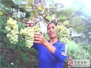 要买葡萄的赶快乐!
