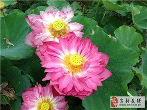 出售盆栽荷花各种水生花卉承揽水景园林绿化工程