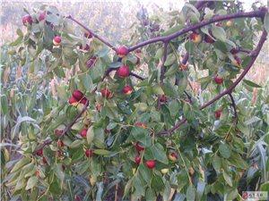 幾萬噸大紅棗已經成熟,無人問津,求收購…