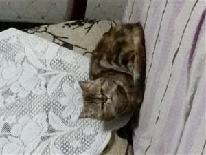 加菲母猫1岁转让