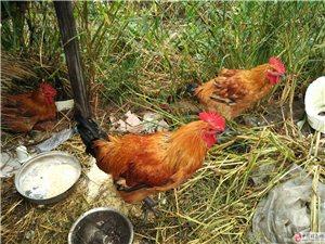 农村散养笨公鸡出售