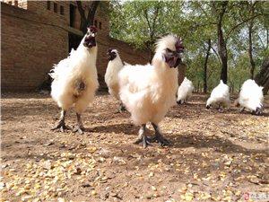 自家棗園散養烏雞