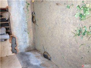 家養海貍鼠,快來圍觀