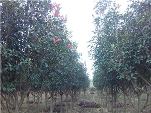 紅葉石楠綠化樹出售