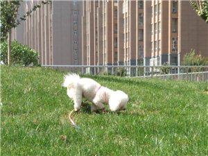 重金尋找白色比熊狗狗