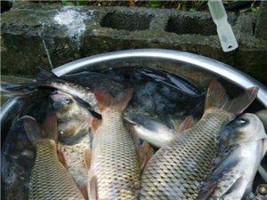 石堤大溪打撈寨生態野生魚出售