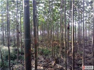 有30亩梧桐树苗处理