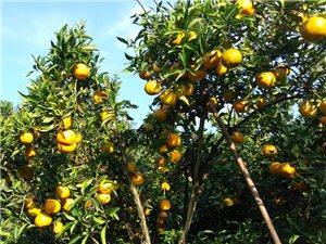 大量销售椪柑,脐橙等新鲜水果