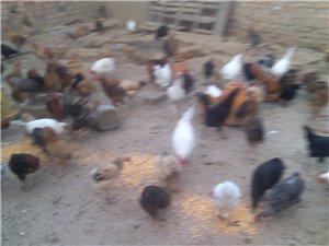 333柴鸡柴鸡蛋