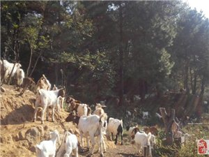 浒湾孟良山养殖场长期出售本地山羊,土鸡,土鸡蛋