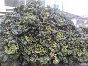 自家种地白菜,绿色无公害0量大1毛5