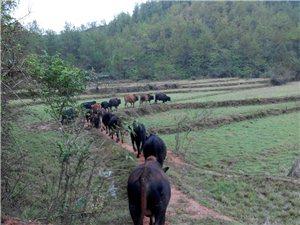 本场长期供应散养本地黄牛和山羊
