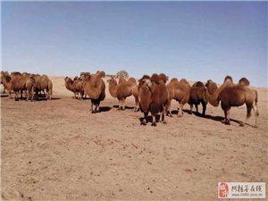 阿右旗塔木苏放养骆驼出售