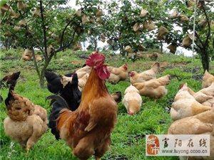 富陽上官散養土雞出售