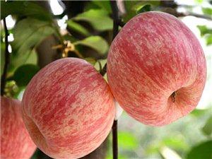 正宗煙臺棲霞蘋果