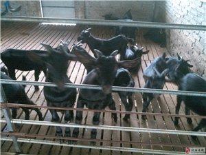 出售海南本地黑山羊种羊育肥羊