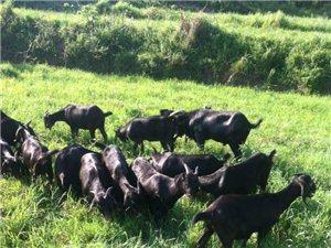純綠色生態放養黑山羊出售