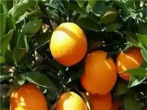吉潭农家果园脐橙四万斤。果靓