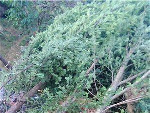 优质红豆杉出售